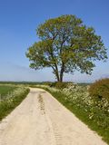 Ash tree and limestone track with wildflowers and hedgerows. A limestone farm track near a mature ash tree and hawthorn hedgerow with wheat fields and Royalty Free Stock Photography