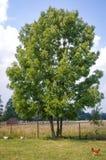 Ash tree in Poland. Ash tree on a meadow in Masovian Voivodeship of Poland stock photos