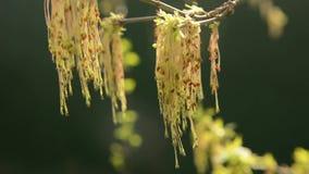 Ash Tree que sopla en el viento en primavera almacen de metraje de vídeo
