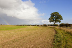 Ash tree and rainbow. An ash tree near a bridleway and a young wheat crop with a dramatic sky with a rainbow and dark rain clouds in autumn in the yorkshire royalty free stock images