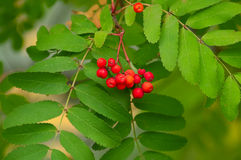 Ash tree with red berries. Autumn branches of ash tree with red berries. Shallow DOF Stock Photography