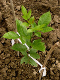 Ash-tree sapling Stock Photography