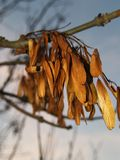 Ash tree seed. In spring stock photo