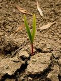 Ash-tree seedling Royalty Free Stock Image