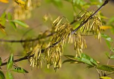 Ash-tree seeds. Branch of an autumn ash-tree with seeds royalty free stock images