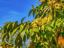 Ash tree seeds Stock Photography