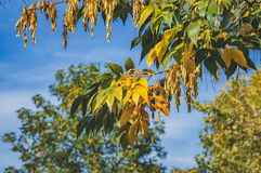 Ash tree seeds in autumn Royalty Free Stock Photography