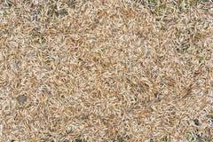 Ash tree seeds Royalty Free Stock Photos