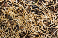 Ash tree seeds Royalty Free Stock Image