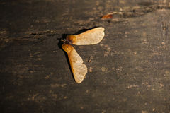 Ash tree seeds. Lying on the wooden table stock images