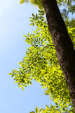 Ash tree at sunny day Royalty Free Stock Images