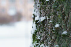 Ash tree trunk close up winter photo Stock Image