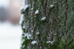 Ash tree trunk close up winter photo Royalty Free Stock Images