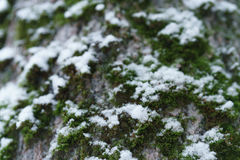 Ash tree trunk close up winter photo Stock Images