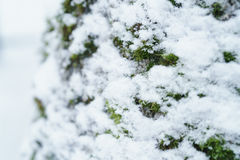 Ash tree trunk close up winter photo Royalty Free Stock Photo