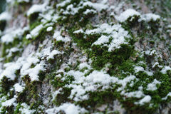 Ash tree trunk close up winter photo Royalty Free Stock Photos