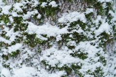 Ash tree trunk close up winter photo Stock Photo