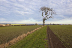 Ash tree and wheat Royalty Free Stock Photo