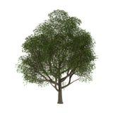 Ash Tree on White royalty free illustration