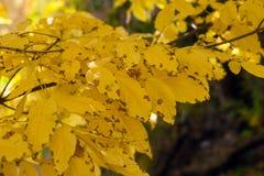 Ash tree yellow leaves on dark. Background Stock Image