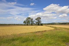 Ash trees and golden wheat in a summer landscape Stock Image