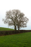 Ash trees in winter silhouette in a farm hedgerow in Northern Ireland Royalty Free Stock Photography