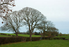 Ash trees in winter silhouette in a farm hedgerow in Northern Ireland Royalty Free Stock Photos