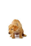 Ashamed Yellow Labrador Puppy. Portrait of a yellow lab puppy on white background looking guilty Stock Photos