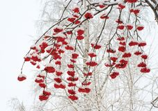 Ashberries在冬天 库存照片