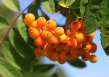 Ashberries Royalty Free Stock Photo