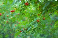 Ashberries royalty-vrije stock afbeeldingen