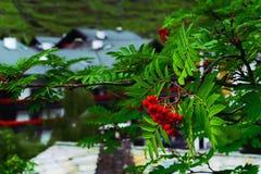 Ashberries rouge mûrissant sur une branche de Rowan Tree Photographie stock libre de droits