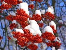 Ashberries under the snow-hats. Ripe frozen ashberries under the snow hats Royalty Free Stock Photo