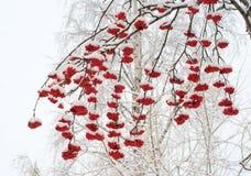 Ashberries in winter. Red ashberries under snow in winter Stock Photos