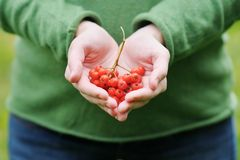 Ashberry在妇女的手上 免版税库存照片
