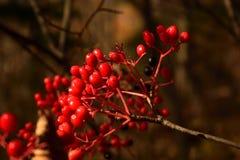ashberry的花揪吸收树红色 免版税图库摄影