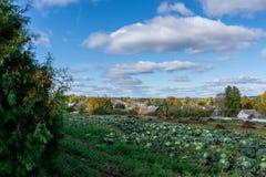 ashberry秋天字符串俄国 在领域生长圆白菜,人种植  免版税库存图片