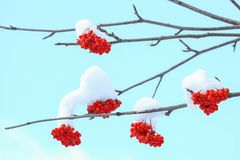 ashberry积雪的山 免版税库存图片
