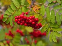 Ashberry über grünen Blättern Lizenzfreie Stockfotos