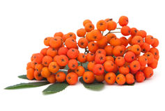 ashberry δέσμη στοκ εικόνες με δικαίωμα ελεύθερης χρήσης