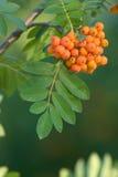 ashberry δέσμη Στοκ Φωτογραφία