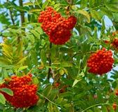 ashberry κλάδος Στοκ Εικόνα