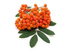 ashberry λευκό δεσμών ανασκόπησ&eta Στοκ φωτογραφία με δικαίωμα ελεύθερης χρήσης