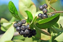 ashberry μαύρο melanocarpa aronia Στοκ φωτογραφίες με δικαίωμα ελεύθερης χρήσης