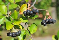 ashberry μαύρο melanocarpa aronia Στοκ Εικόνες