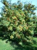 Ashberry στην ξηρά ημέρα Στοκ Φωτογραφία