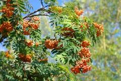 Ashberry στην ξηρά ημέρα Στοκ Εικόνες