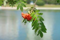 Ashberry στην ξηρά ημέρα Στοκ φωτογραφία με δικαίωμα ελεύθερης χρήσης
