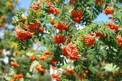 Ashberry στην ξηρά ημέρα Στοκ φωτογραφίες με δικαίωμα ελεύθερης χρήσης