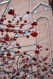 Ashberry στο κτήριο στοκ εικόνα με δικαίωμα ελεύθερης χρήσης